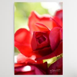 czerwona roza,kwiaty do salonu,obraz z kwiatami - Ilustracje, rysunki, fotografia - Wyposażenie wnętrz